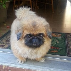 pekingese teddy bear dog