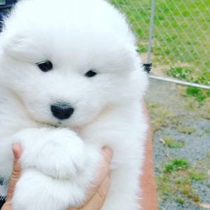 samoyed teddy bear dog breed