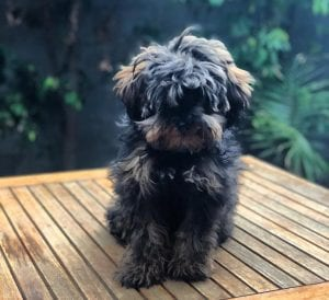 schnoodle teddy bear dog