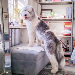 sheepadoodle teddy bear dog