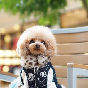 toy poodle teddy bear dog