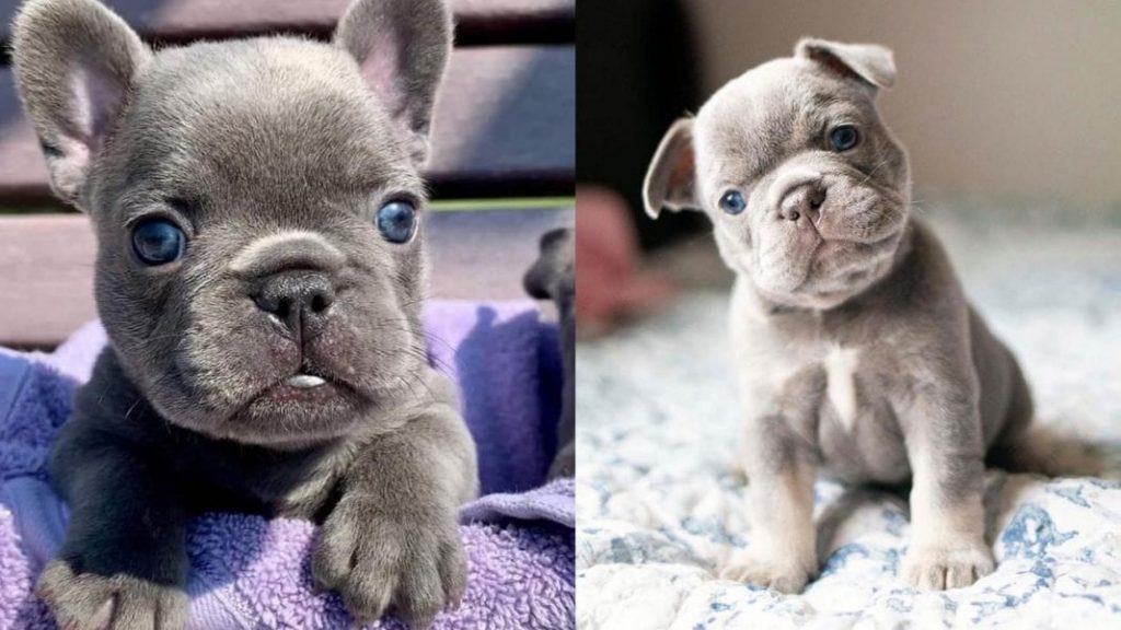 10 Amazing Facts About French Bulldogs