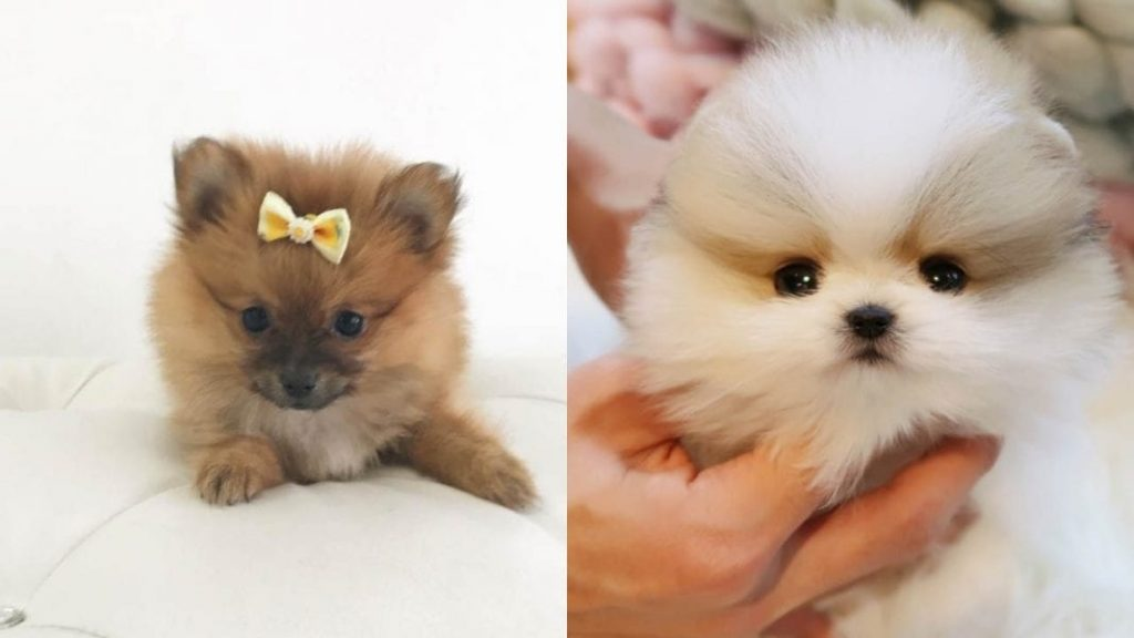 Pomeranian Dog Facts and Information