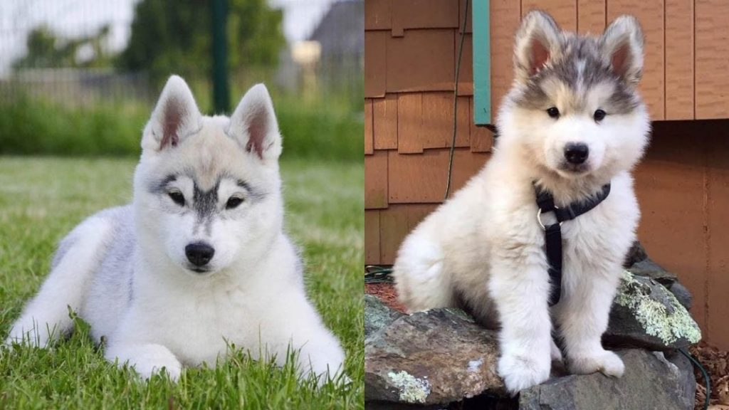 Siberian Husky Dogs Facts and Information