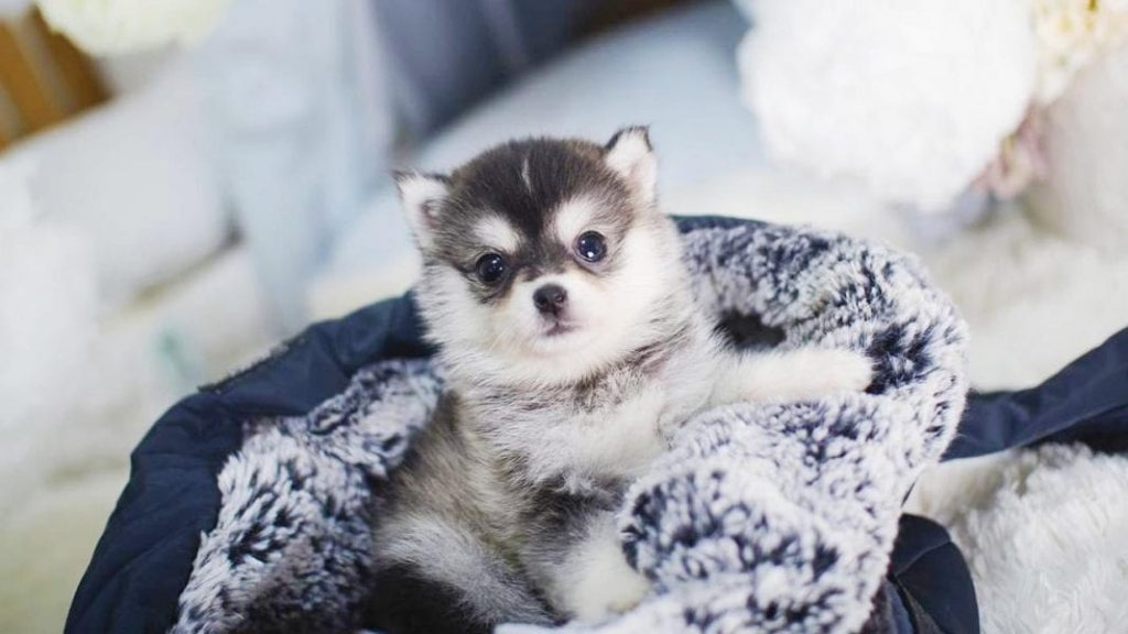 Five Amazing Things About the Teacup Pomsky