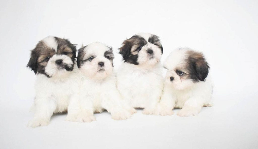 teacup-shih-poo-puppies