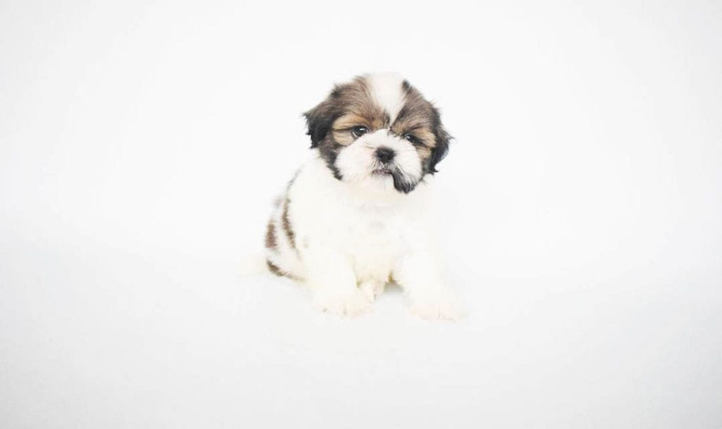 teacup-shih-tzu-puppies