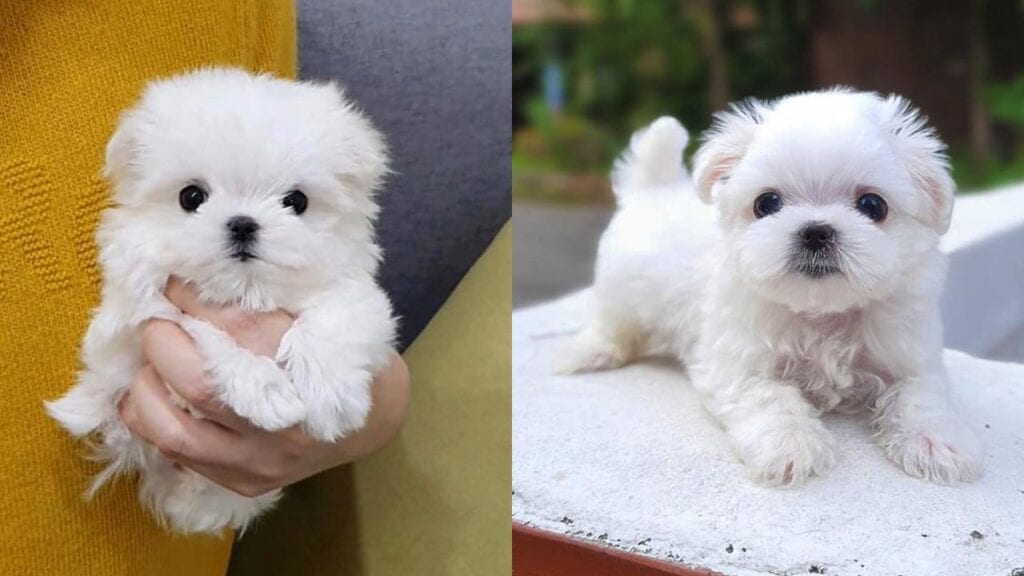 Everything You Need To Know About Teacup Maltese