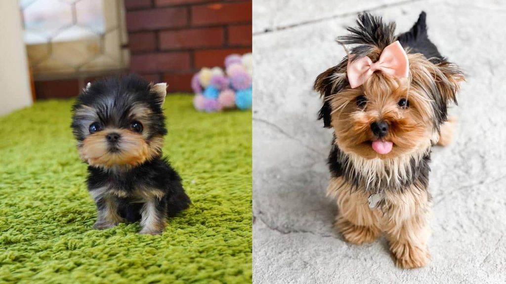 You Cannot Miss Out On These Facts About Teacup Yorkie