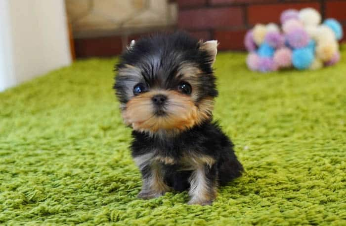 teacup-yorkie-puppy