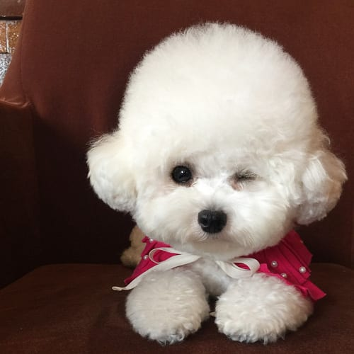 bichon-frise-facts