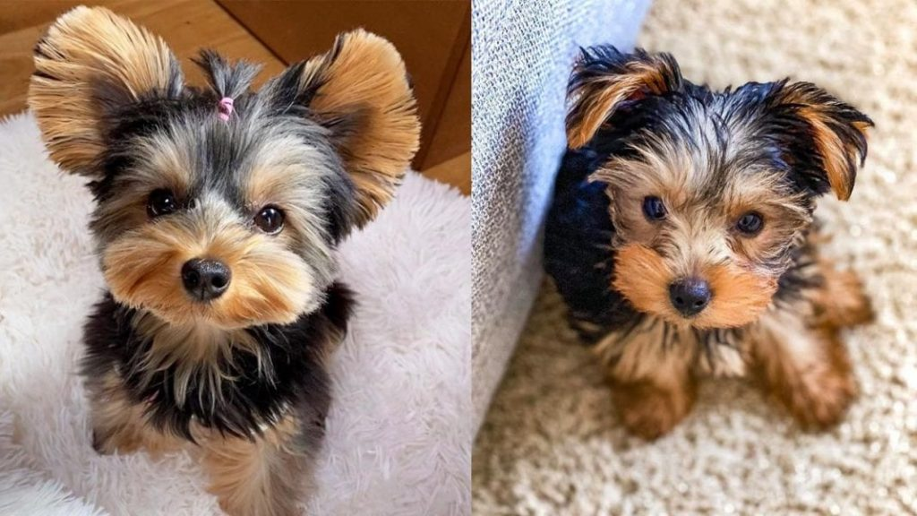 12 Interesting Facts about Miniature Yorkie Dog Breed