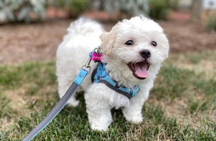 shichon-teddy-bear-dog
