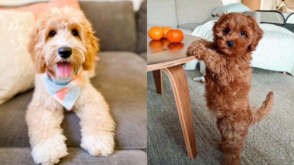 Facts about Miniature Labradoodle Dog